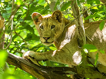 A young female lion (Panthera leo), resting in a tree in Lake Manyara National Park, Tanzania, East Africa, Africa