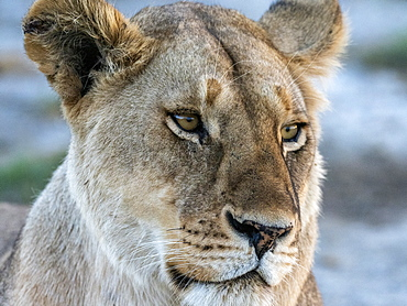 A female lion (Panthera leo), face detail, Serengeti National Park, Tanzania, East Africa, Africa