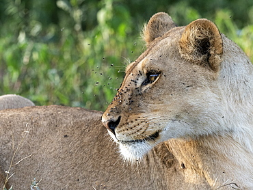 A female lioness (Panthera leo), Serengeti National Park, Tanzania, East Africa, Africa