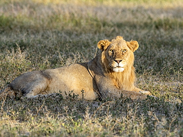 A male lion (Panthera leo), Serengeti National Park, Tanzania, East Africa, Africa