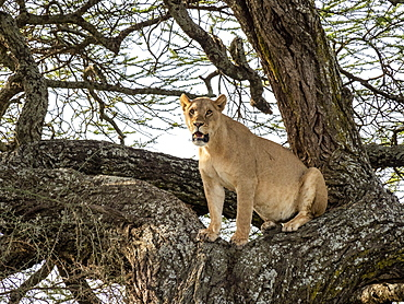 A female lioness (Panthera leo), in a tree in Serengeti National Park, Tanzania, East Africa, Africa