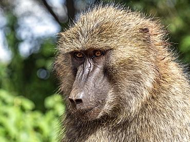 Adult olive baboon (Papio anubis), Ngorongoro Conservation Area, Tanzania, East Africa, Africa