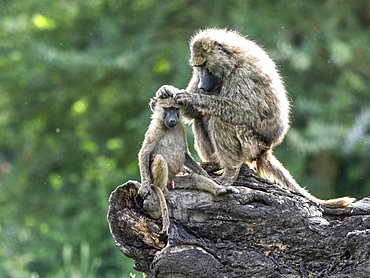 Olive baboons (Papio anubis) grooming each other in Ngorongoro Conservation Area, Tanzania, East Africa, Africa