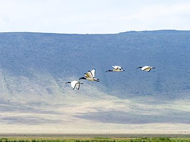 African sacred ibis (Threskiornis aethiopicusi), in flight inside Ngorongoro Crater, UNESCO World Heritage Site, Tanzania, East Africa, Africa