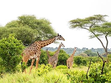Adult Masai giraffes (Giraffa camelopardalis tippelskirchii) feeding in Tarangire National Park, Tanzania, East Africa, Africa