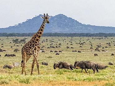 An adult Masai giraffe (Giraffa camelopardalis tippelskirchii), Serengeti National Park, UNESCO World Heritage Site, Tanzania, East Africa, Africa