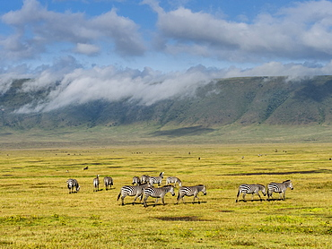 Plains zebras (Equus quagga), inside Ngorongoro Crater, UNESCO World Heritage Site, Tanzania, East Africa, Africa