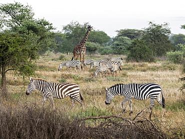 Plains zebras (Equus quagga) with giraffe in Serengeti National Park, UNESCO World Heritage Site, Tanzania, East Africa, Africa