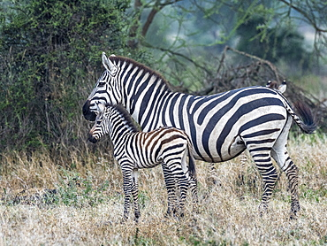 Plains zebra (Equus quagga), mother and colt, Serengeti National Park, Tanzania, East Africa, Africa
