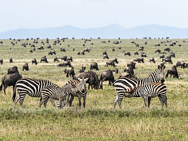 Plains zebras (Equus quagga), mothers and colts in Serengeti National Park, UNESCO World Heritage Site, Tanzania, East Africa, Africa
