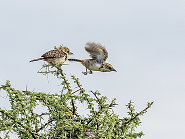 A pair of D'Arnaud's barbets (Trachyphonus darnaudii), Serengeti National Park, Tanzania, East Africa, Africa