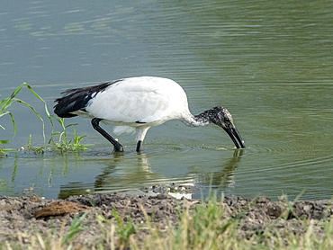 An adult African sacred ibis (Threskiornis aethiopicus), Tarangire National Park, Tanzania, East Africa, Africa