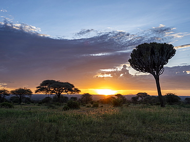 Candelabra tree (Euphorbia candelabrum) at sunrise in Tarangire National Park, Tanzania, East Africa, Africa