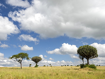 Acacia tree and candelabra tree (Euphorbia candelabrum) in Tarangire National Park, Tanzania, East Africa, Africa