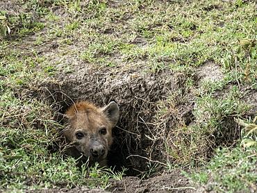 Adult spotted hyena (Crocuta crocuta) in its den, Serengeti National Park, Tanzania, East Africa, Africa