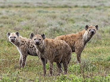 Spotted hyena (Crocuta crocuta), pack in Serengeti National Park, Tanzania, East Africa, Africa