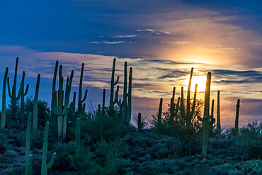 The super full moon rising over saguaro cactus (Carnegiea gigantea), Sweetwater Preserve, Tucson, Arizona, United States of America, North America