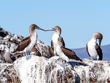Adult blue-footed boobies (Sula nebouxi), Santa Rosalia, Baja California Sur, Mexico, North America