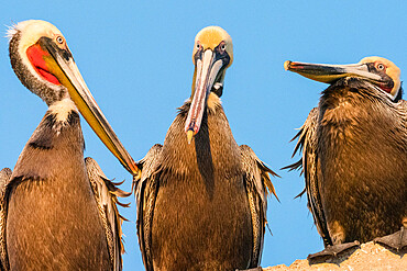 Brown pelicans, Pelecanus occidentalis, at a fish processing plant, Puerto San Carlos, Baja California Sur, Mexico.