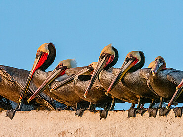 Brown pelicans, Pelecanus occidentalis, at a fish processing plant, Puerto San Carlos, Baja California Sur, Mexico.