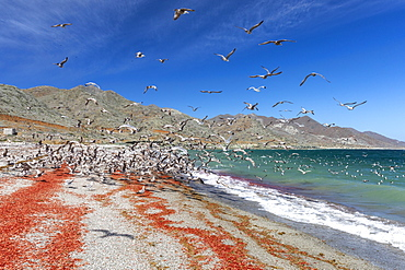 California gulls, Larus californicus,feeding on tuna crabs, Isla Magdalena, Baja California Sur, Mexico.