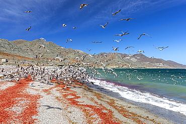 California gulls (Larus californicus) feeding on tuna crabs, Isla Magdalena, Baja California Sur, Mexico, North America