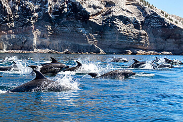 Adult bottlenose dolphins (Tursiops truncatus) surfacing near Isla San Pedro Martir, Baja California, Mexico, North America
