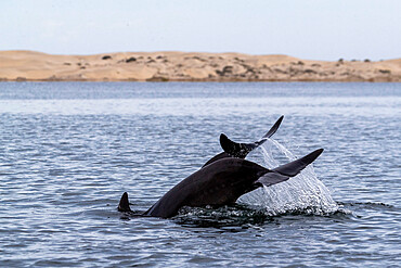 Adult bottlenose dolphins, Tursiops truncatus, flukes-up diving in Bahia Magdalena, Baja California Sur, Mexico.