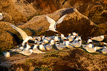 Elegant terns (Thalasseus elegans), breeding colony on Isla Rasa, Baja California, Mexico, North America