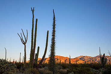 Boojum tree, Fouquieria columnaris, with cardon cactus, Bahía de los Angeles, Baja California, Mexico.