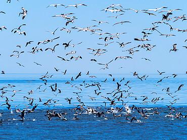 A feeding frenzy of sea birds diving on small baitfish near Isla San Pedro Esteban, Baja California, Mexico.