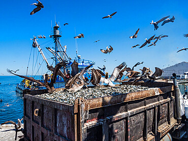 Brown pelicans, Pelecanus occidentalis, at a sardine processing plant, Puerto San Carlos, Baja California Sur, Mexico.