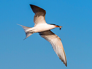 Elegant tern (Thalasseus elegans) in flight with a small fish at breeding colony on Isla Rasa, Baja California, Mexico, North America
