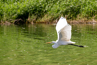 An adult great egret, Ardea alba, in flight in San Jose del Cabo, Baja California Sur, Mexico.