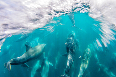 Adult bottlenose dolphins (Tursiops truncatus) bowriding underwater, Isla San Pedro Martir, Baja California, Mexico, North America