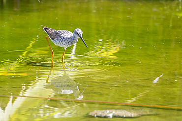 An adult greater yellowlegs, Tringa melanoleuca, wading in a stream in San Jose del Cabo, Baja California Sur, Mexico.