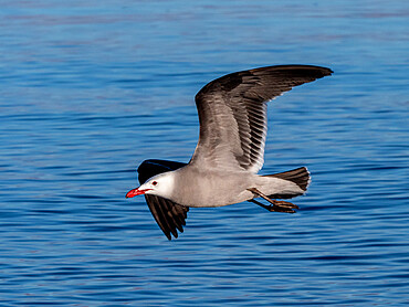 Adult Heermann's gull (Larus heermanni), in flight near Isla Rasa, Baja California, Mexico, North America