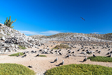 Heermann's gull (Larus heermanni) breeding colony in the inner lagoon at Isla Rasa, Baja California, Mexico, North America