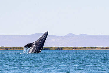 California gray whale calf (Eschrichtius robustus) breaching in San Ignacio Lagoon, Baja California Sur, Mexico, North America