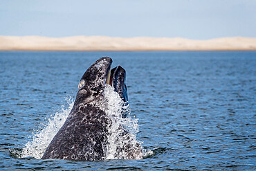 California gray whale calf (Eschrichtius robustus), head-lunging in San Ignacio Lagoon, Baja California Sur, Mexico, North America