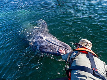 Whale watcher with California gray whale, Eschrichtius robustus, San Ignacio Lagoon, Baja California Sur, Mexico.