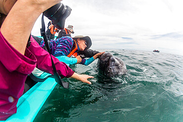 Whale watchers with California gray whale (Eschrichtius robustus), San Ignacio Lagoon, Baja California Sur, Mexico, North America