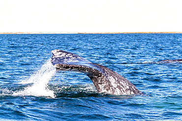 Adult California gray whale, Eschrichtius robustus, diving in San Ignacio Lagoon, Baja California Sur, Mexico.