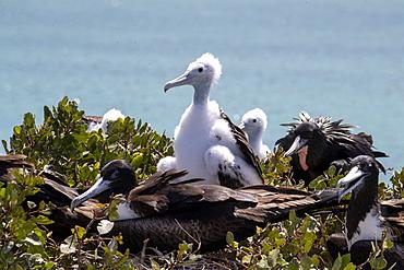Magnificent frigatebird chicks (Fregata magnificens) with parents, Isla del Espiritu Santo, Baja California Sur, Mexico, North America