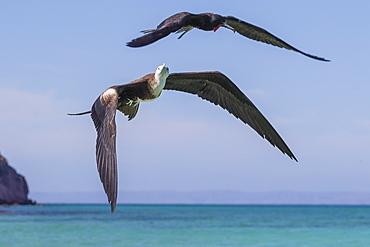 Juvenile magnificent frigatebird (Fregata magnificens), in flight, Isla del Espiritu Santo, Baja California Sur, Mexico, North America