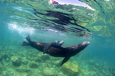 California sea lion (Zalophus californianus), underwater at Los Islotes, Baja California Sur, Mexico, North America, North America