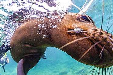 California sea lion (Zalophus californianus), with photographer at Los Islotes, Baja California Sur, Mexico, North America
