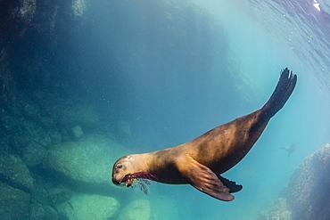 California sea lion (Zalophus californianus), playing with gorgonia, Los Islotes, Baja California Sur, Mexico, North America