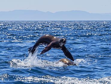 California sea lions (Zalophus californianus), porpoising at Isla San Pedro Martir, Baja California, Mexico, North America