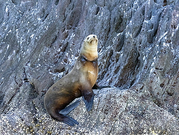 California sea lion (Zalophus californianus), with fishing net around its neck, Isla San Pedro Martir, Baja California, Mexico, North America